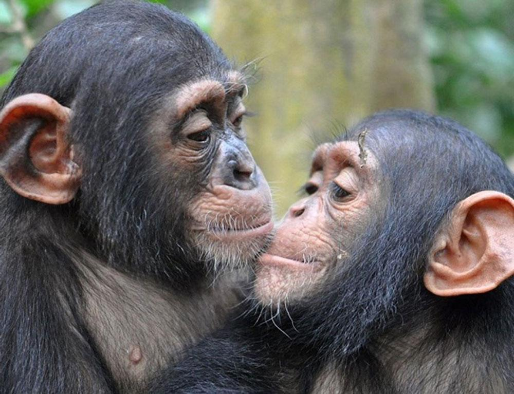 Kimbang and Gnala are African Chimpanzees