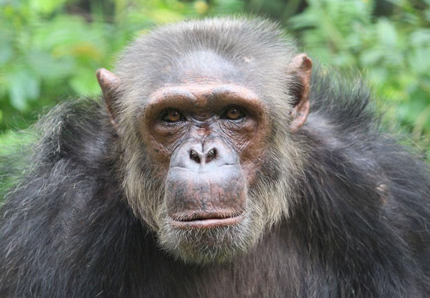 Mintak is an African Chimpanzee
