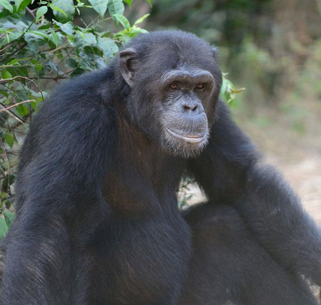 Moabi is a Chimpanzee for Adoption