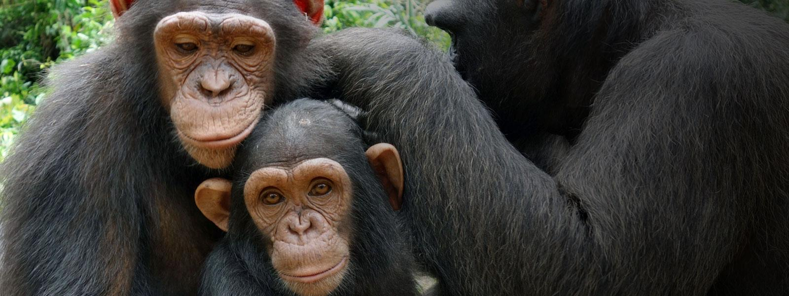 Rescued Chimp Family