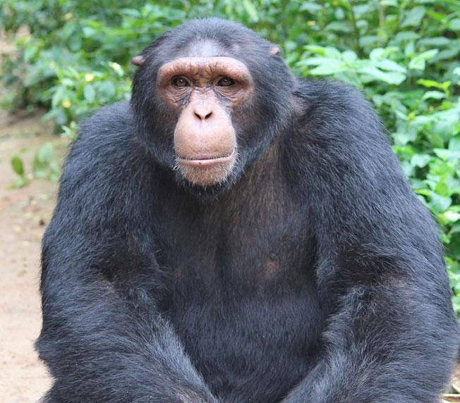 Baati is a Chimpanzee in Africa