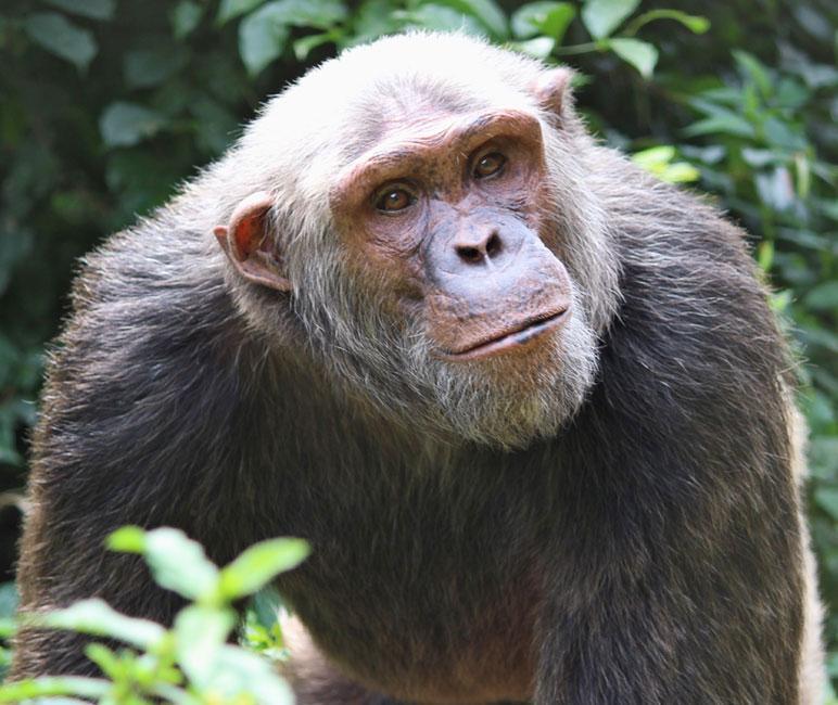 Rescued Chimp Bikol by SYCR