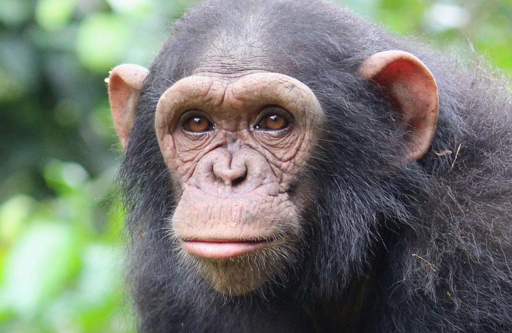 Rescued Chimp Carla