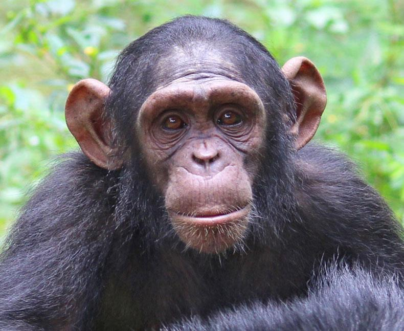 Gnala is a Rescued Chimp
