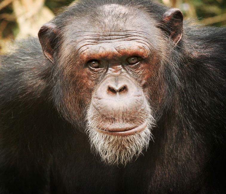 Jacky a Chimp