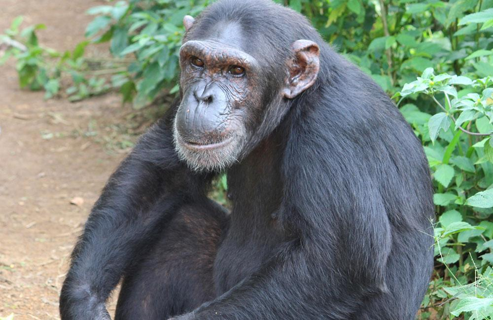 Jimi is a Rescued Chimp