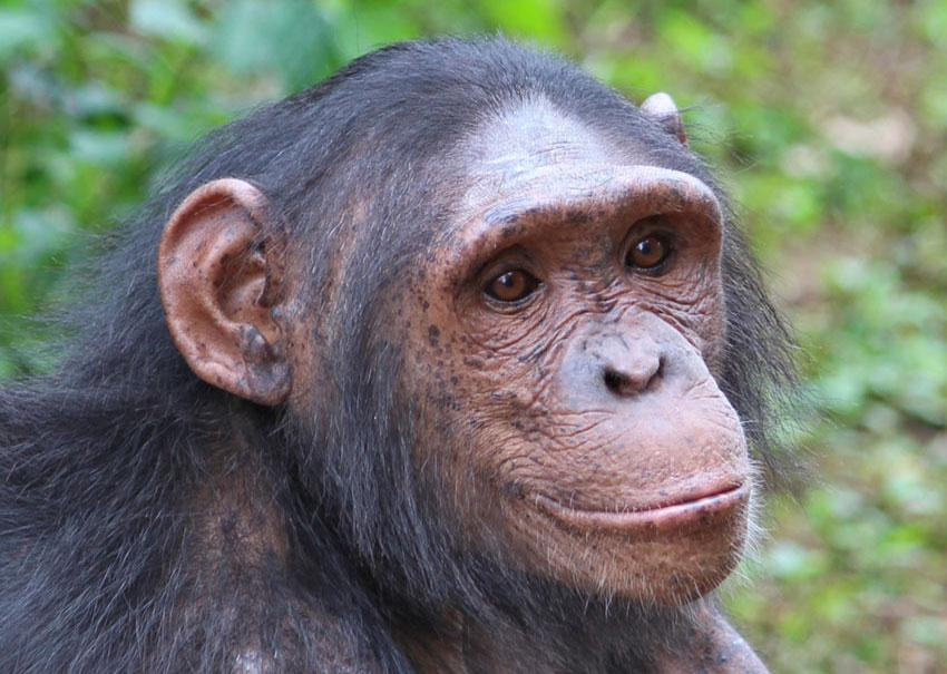 Kenza is a Chimpanzee in Africa