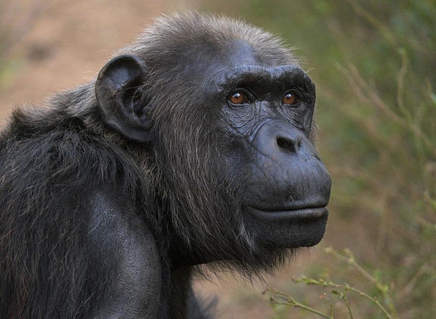 Kiki is a Chimp in Sanctuary