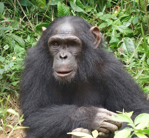 Rescued Chimp Milou by SYCR