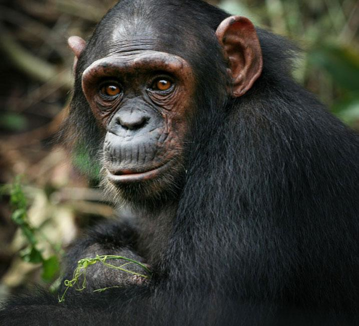 Akiba is the Rescued Chimpanzee in Africa
