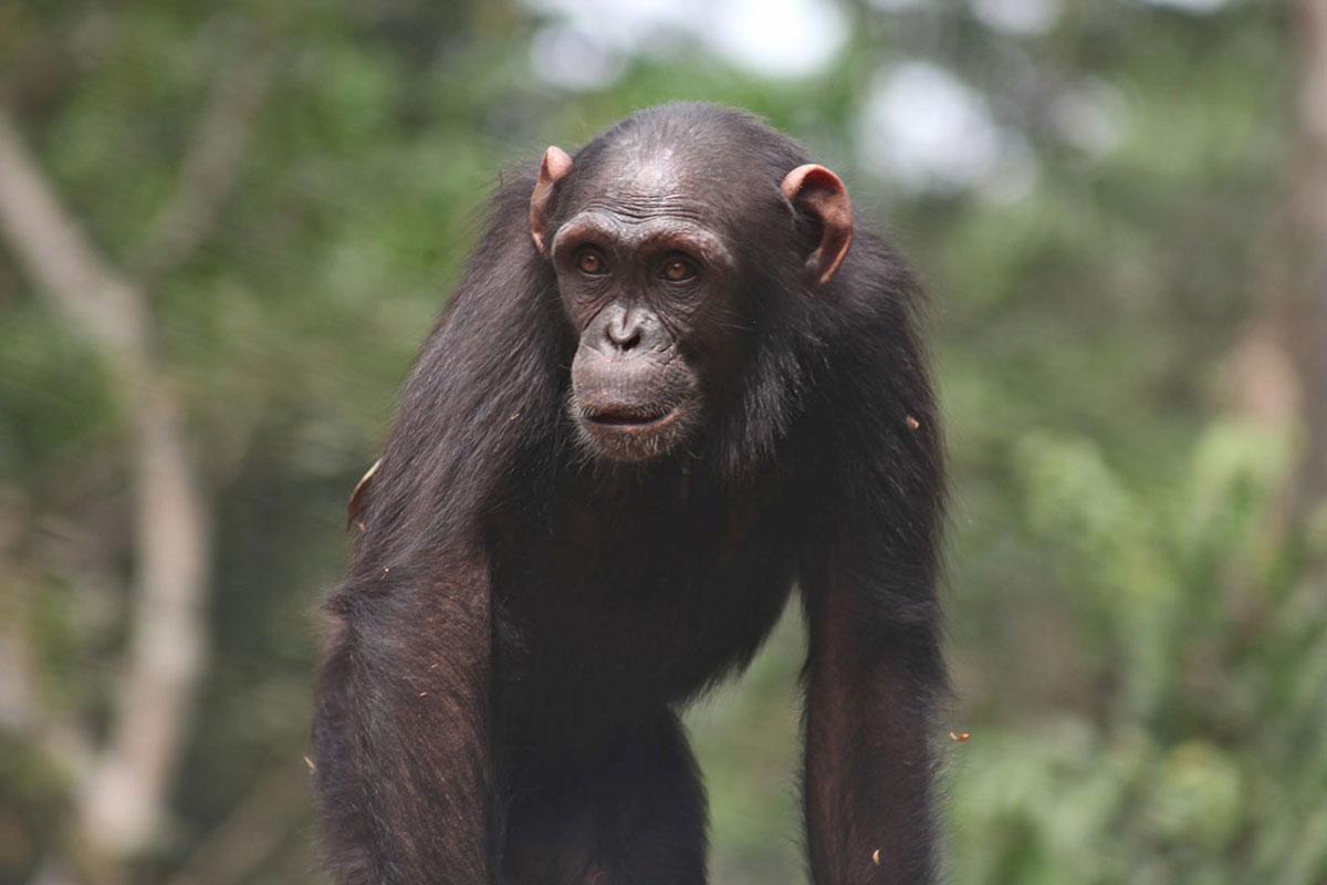 Akim a Chimp