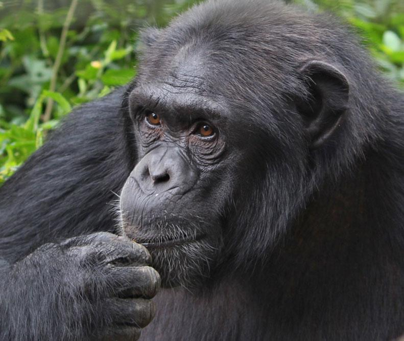 Alice is a Chimpanzee for Adoption