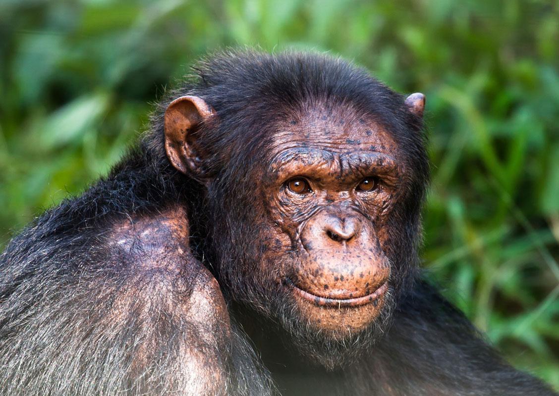 Amigo is a Baby Chimpanzee for Adoption