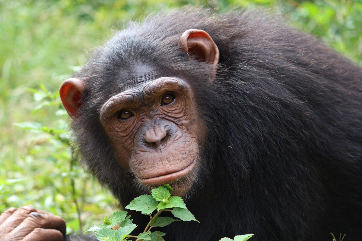 Anita is an African Chimpanzee