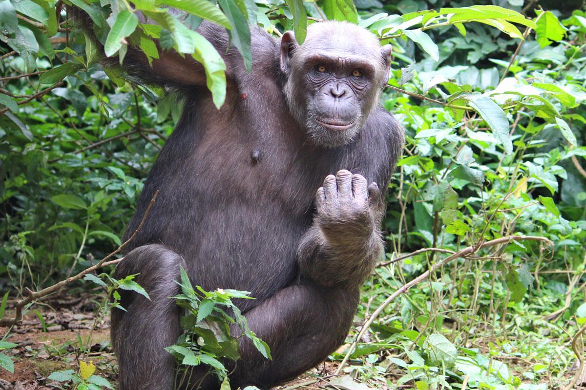 Ava is a Chimpanzee in Africa
