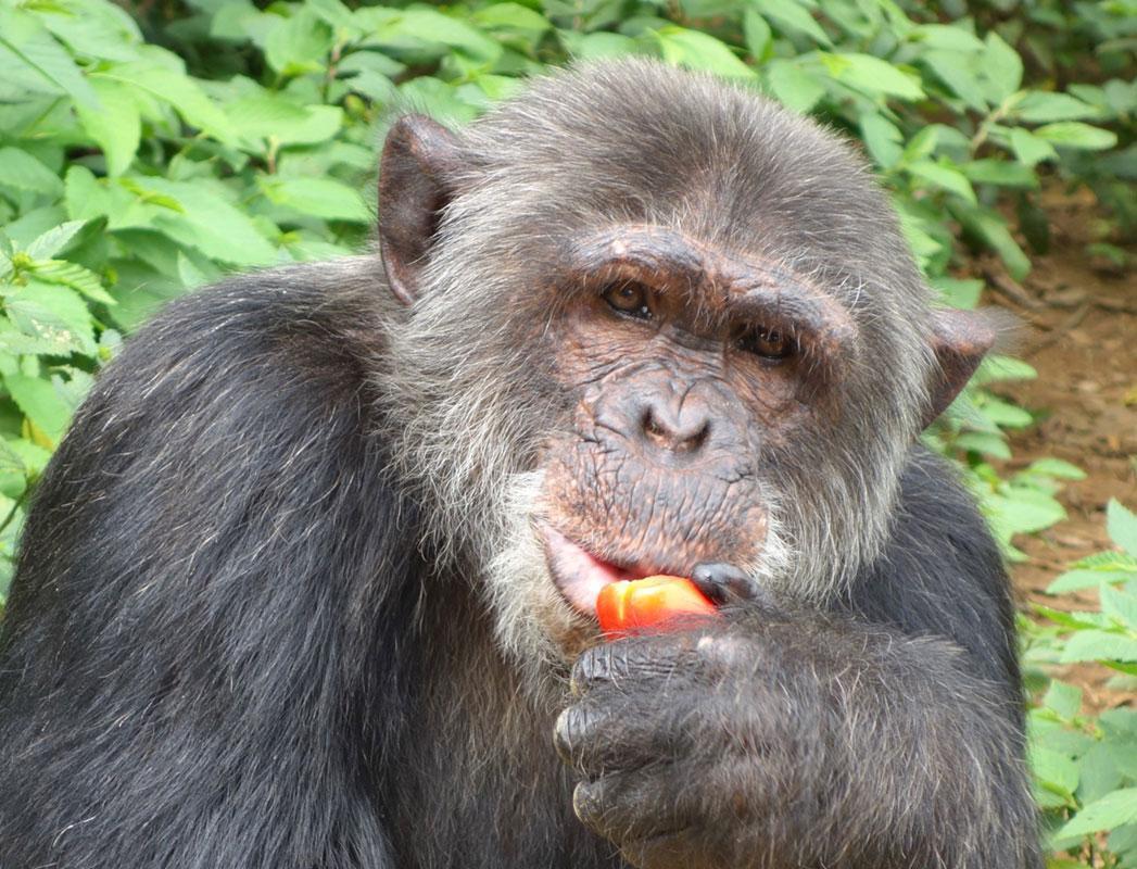 Ballas is an African Chimpanzee