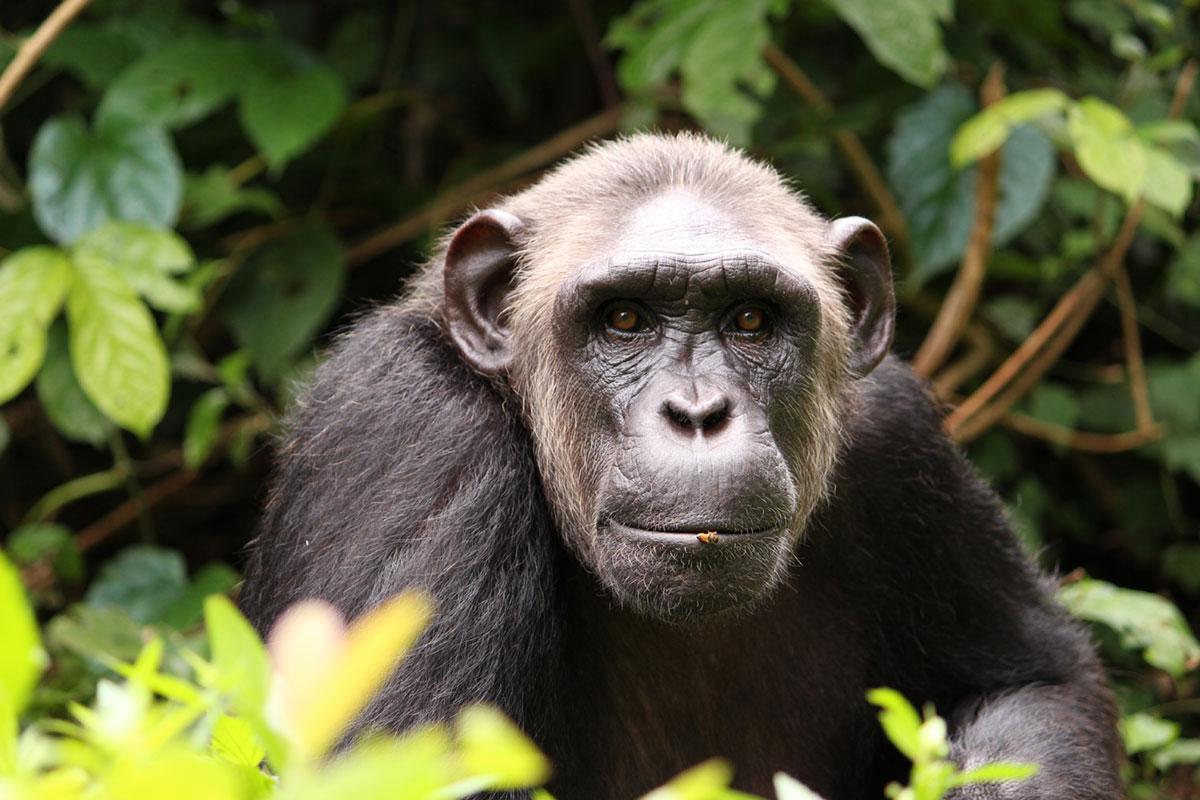 Berchi is a Chimp in Sanctuary