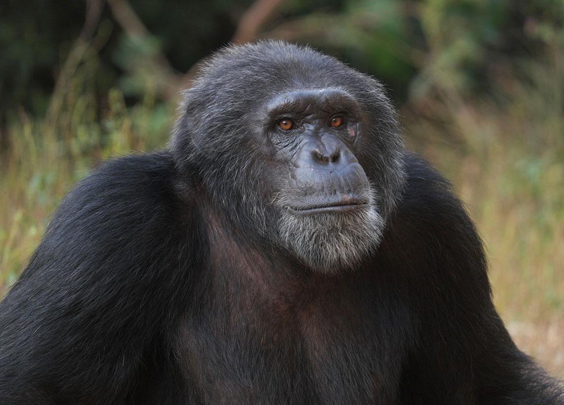 Bouboule is a Chimpanzee