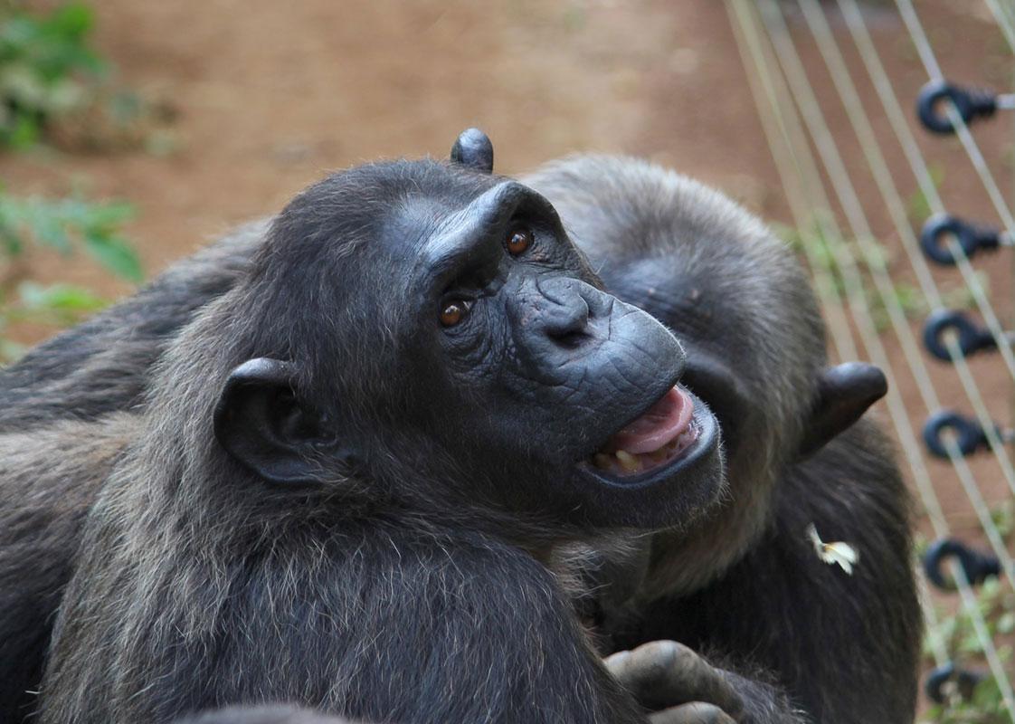 Caroline is a Chimp in Sanctuary