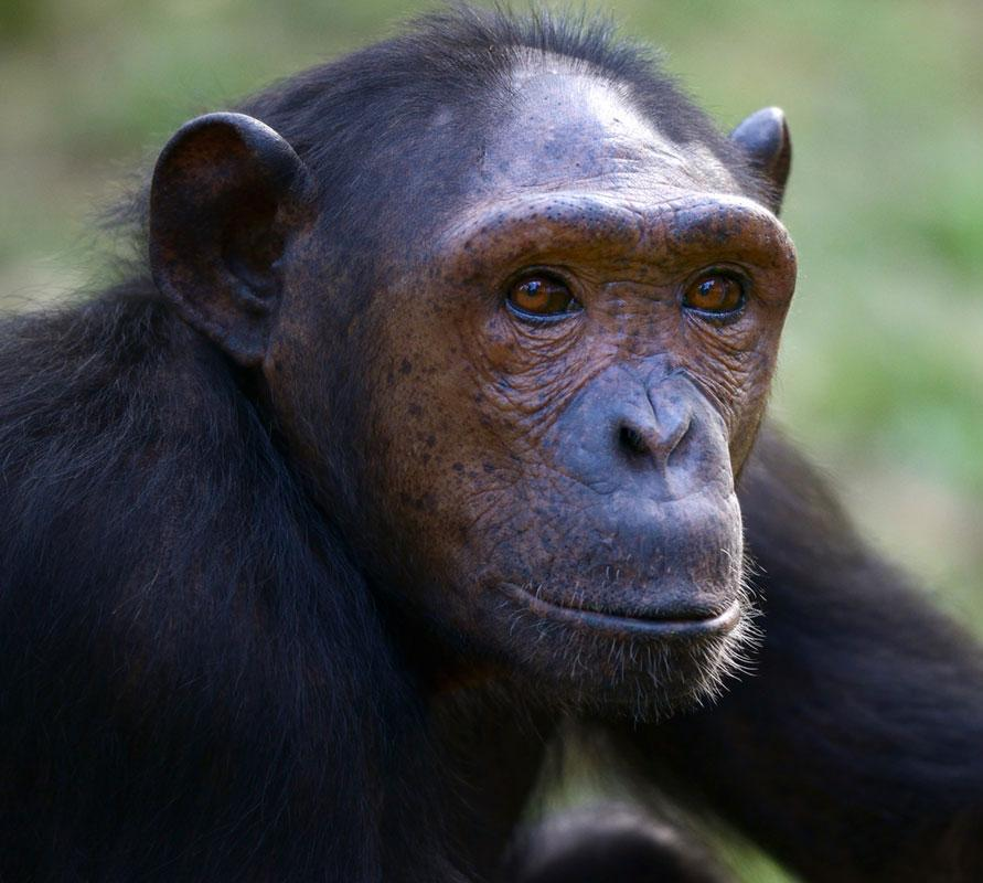 Cathy is a Chimpanzee for Adoption
