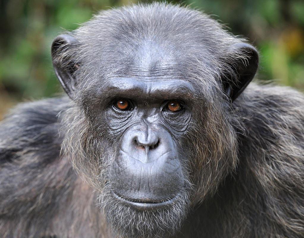 Charlos is an African Chimpanzee
