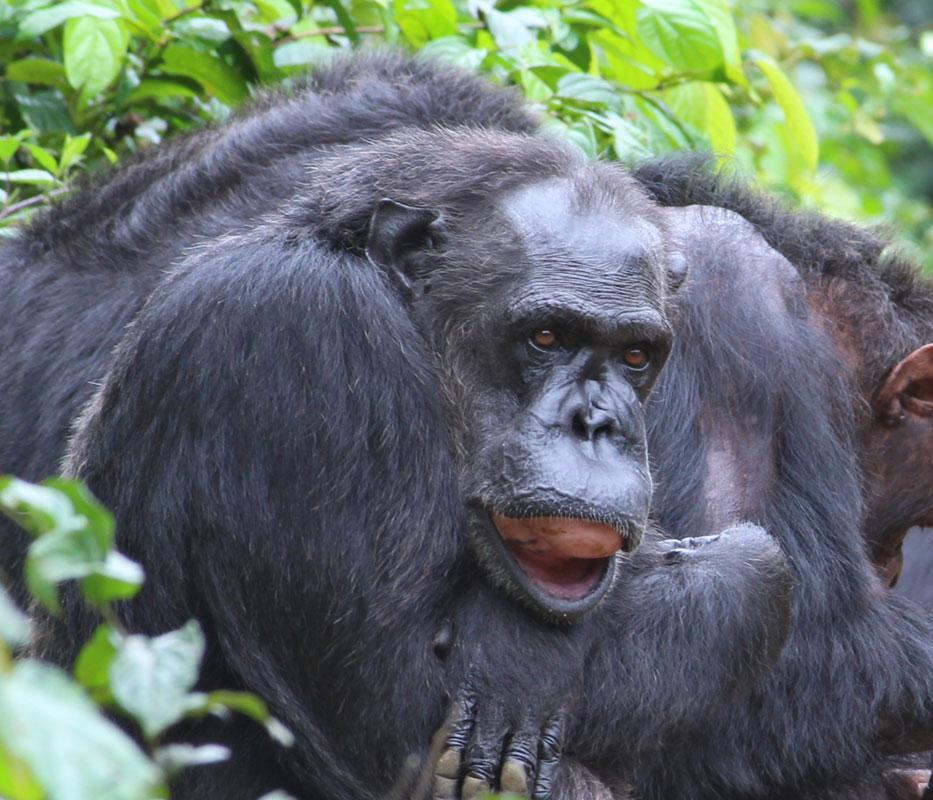 Coffee is a Chimpanzee in Africa