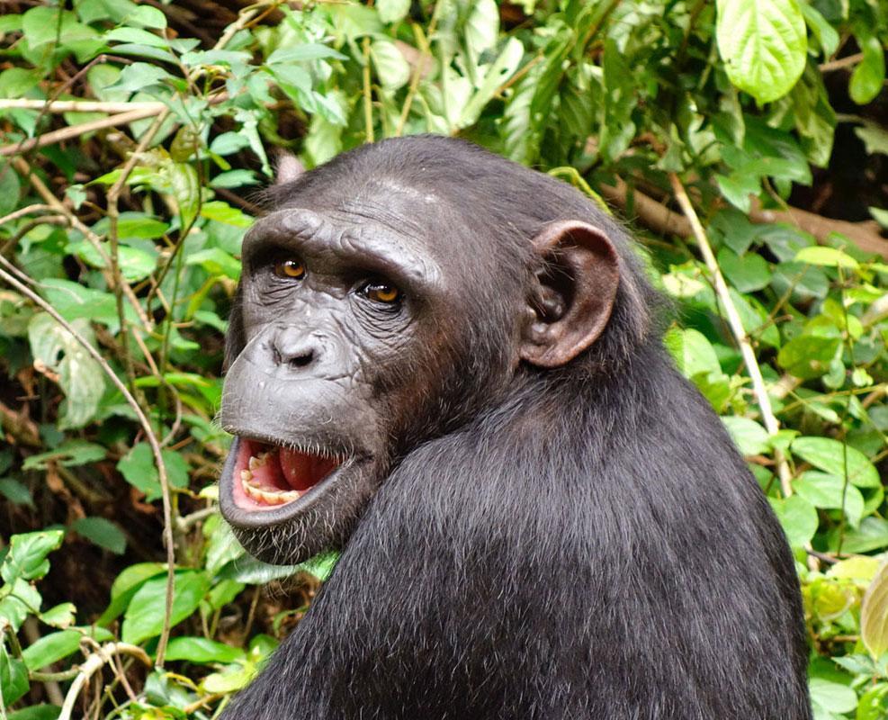 Daniel is an African Chimpanzee