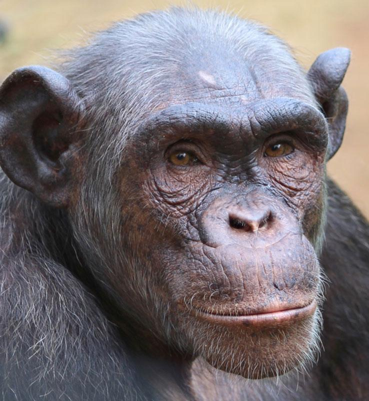 Emma is a Baby Chimpanzee for Adoption
