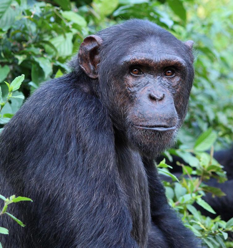 Ginger is an African Chimpanzee