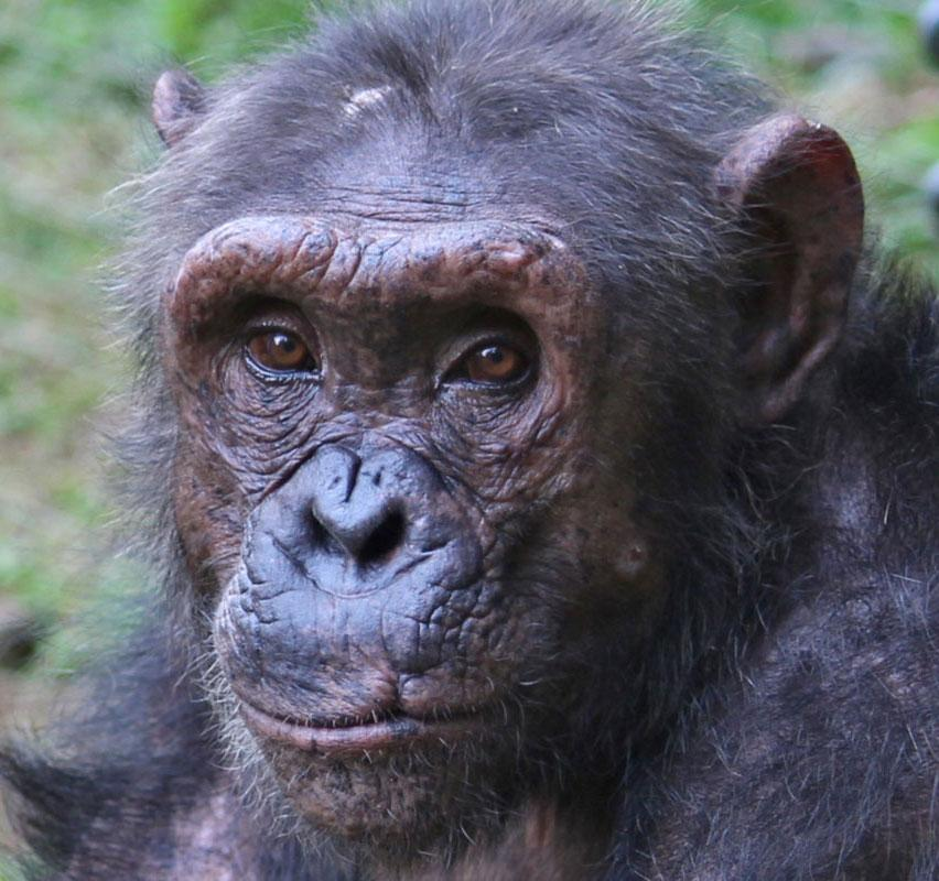 Gremlin is a Chimp in Sanctuary