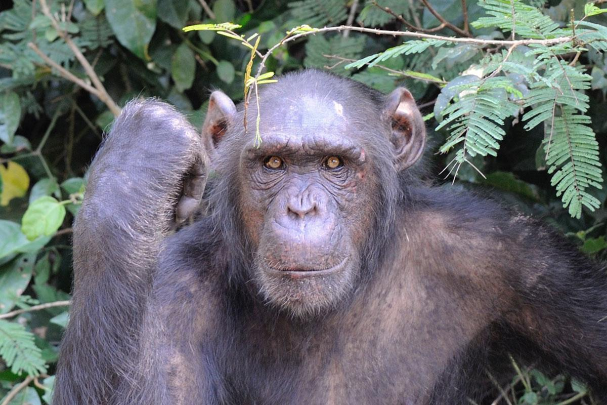 Issah is an African Chimpanzee