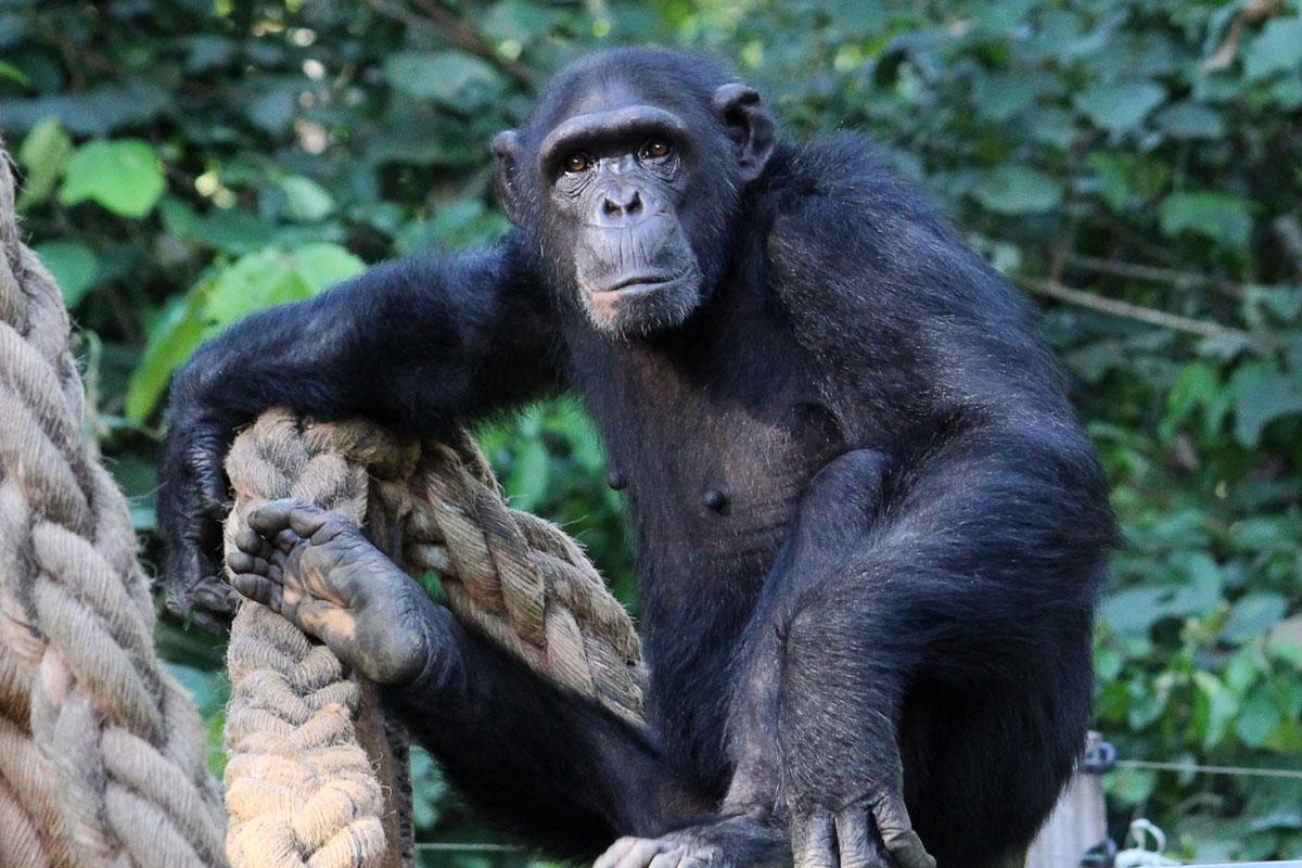 Jantan - Rescued Chimp