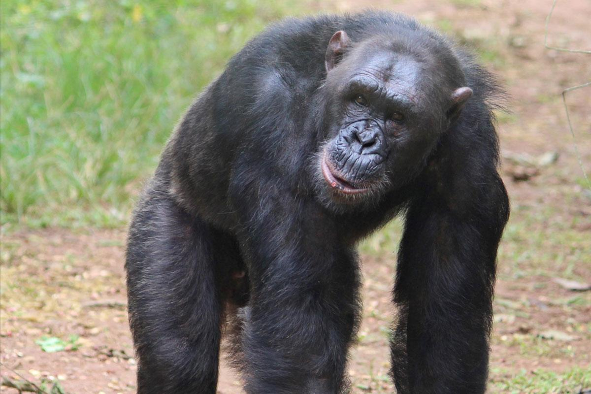 Johnny is a Rescued Chimp