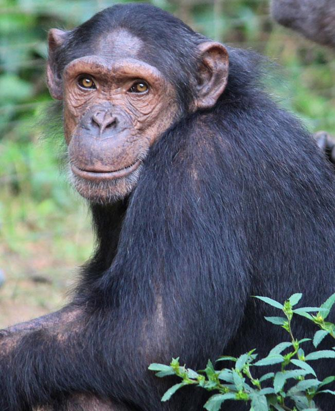 Kadel is a Chimpanzee in Africa
