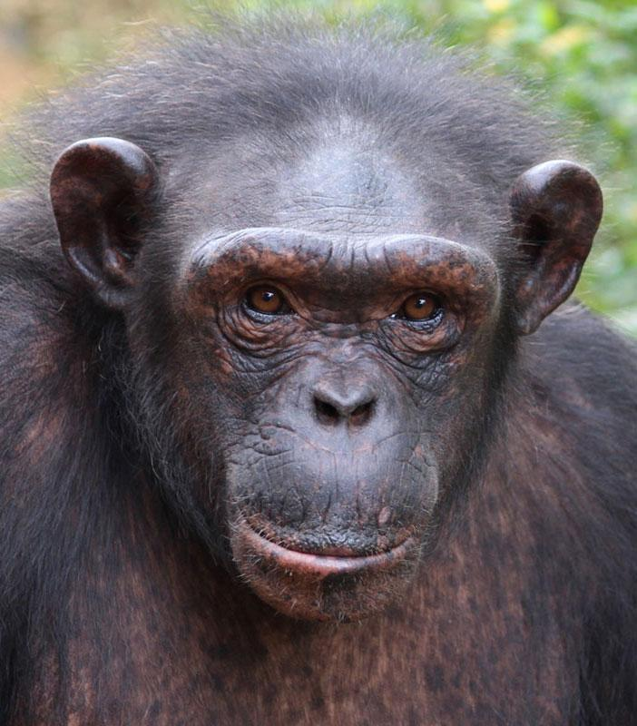 Karmal is a Chimpanzee for Adoption
