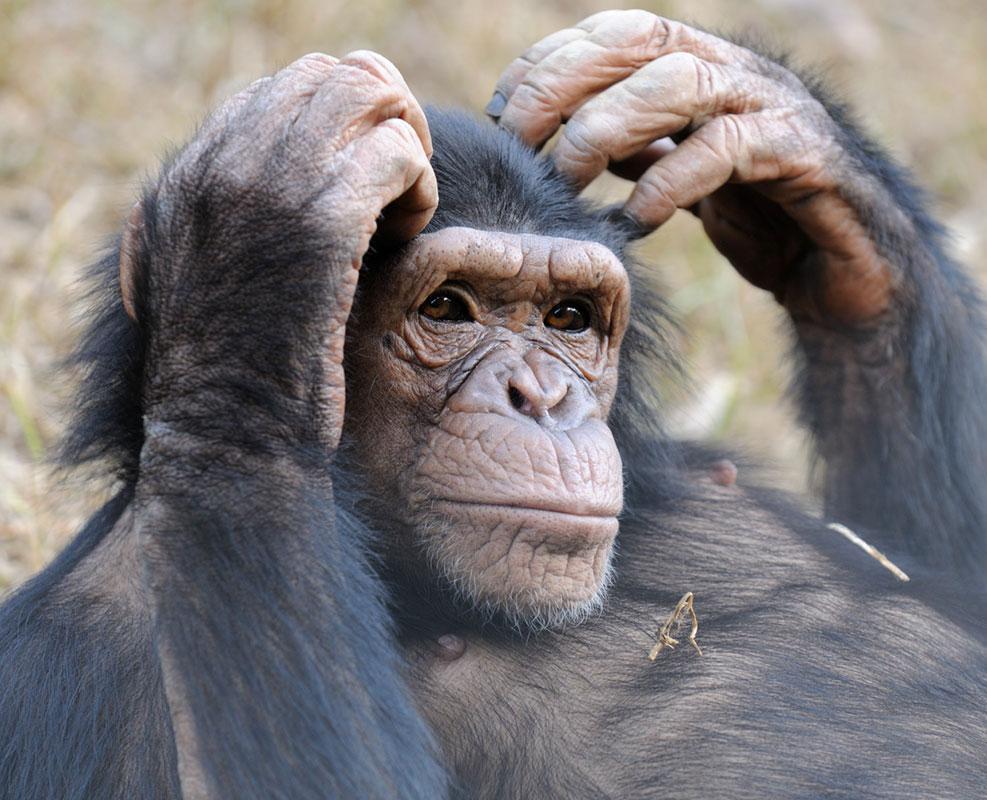 Launa is a Chimpanzee for Adoption