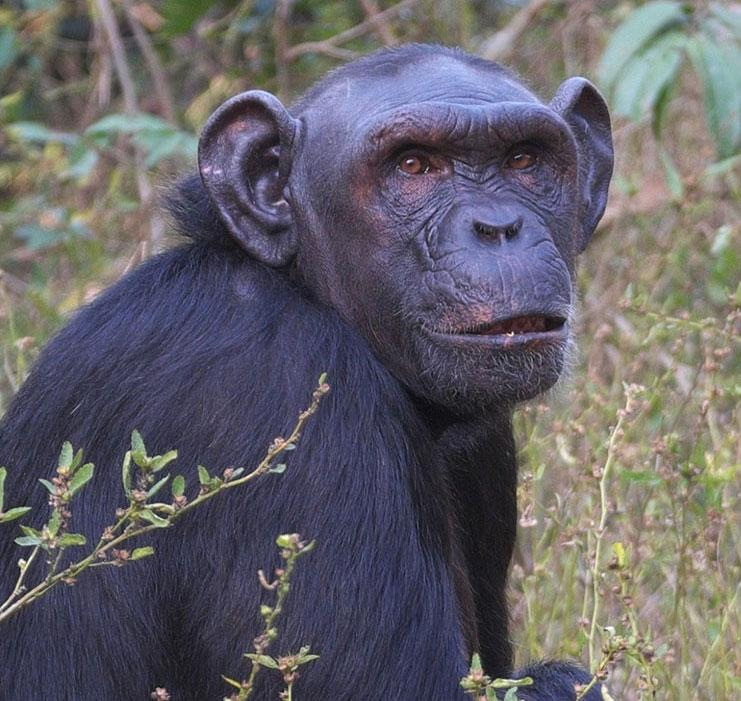 Leilah is a Chimpanzee for Adoption