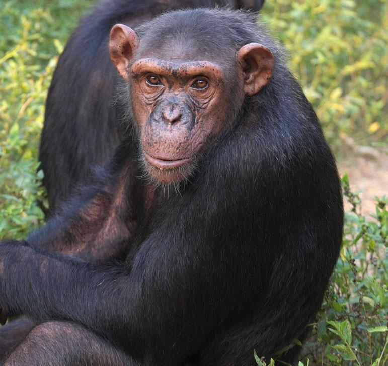 Lucy is a Chimpanzee for Adoption