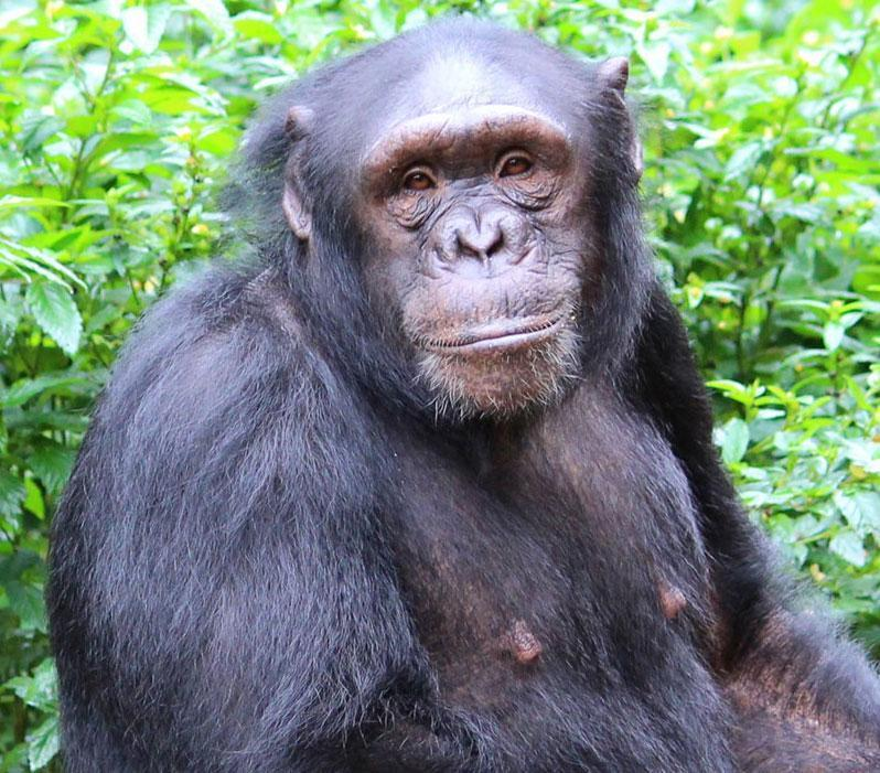 Mado is an African Chimpanzee