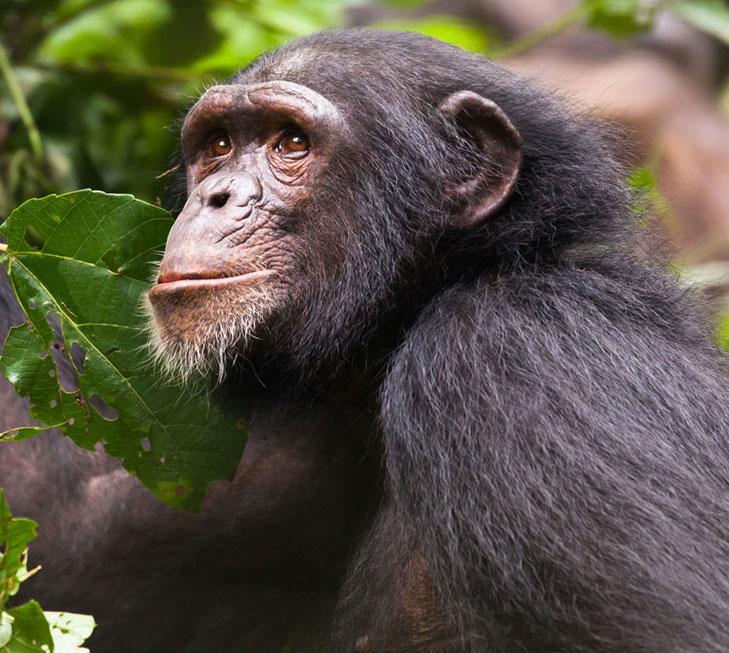 Margot is an African Chimpanzee