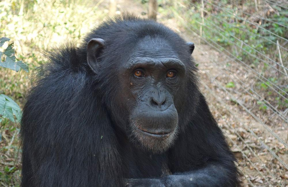 Massamba is a Rescued Chimp