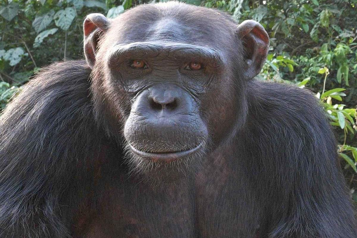 Mowglie is an African Chimpanzee