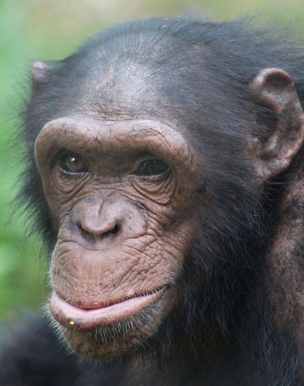 Muna is a Chimpanzee for Adoption