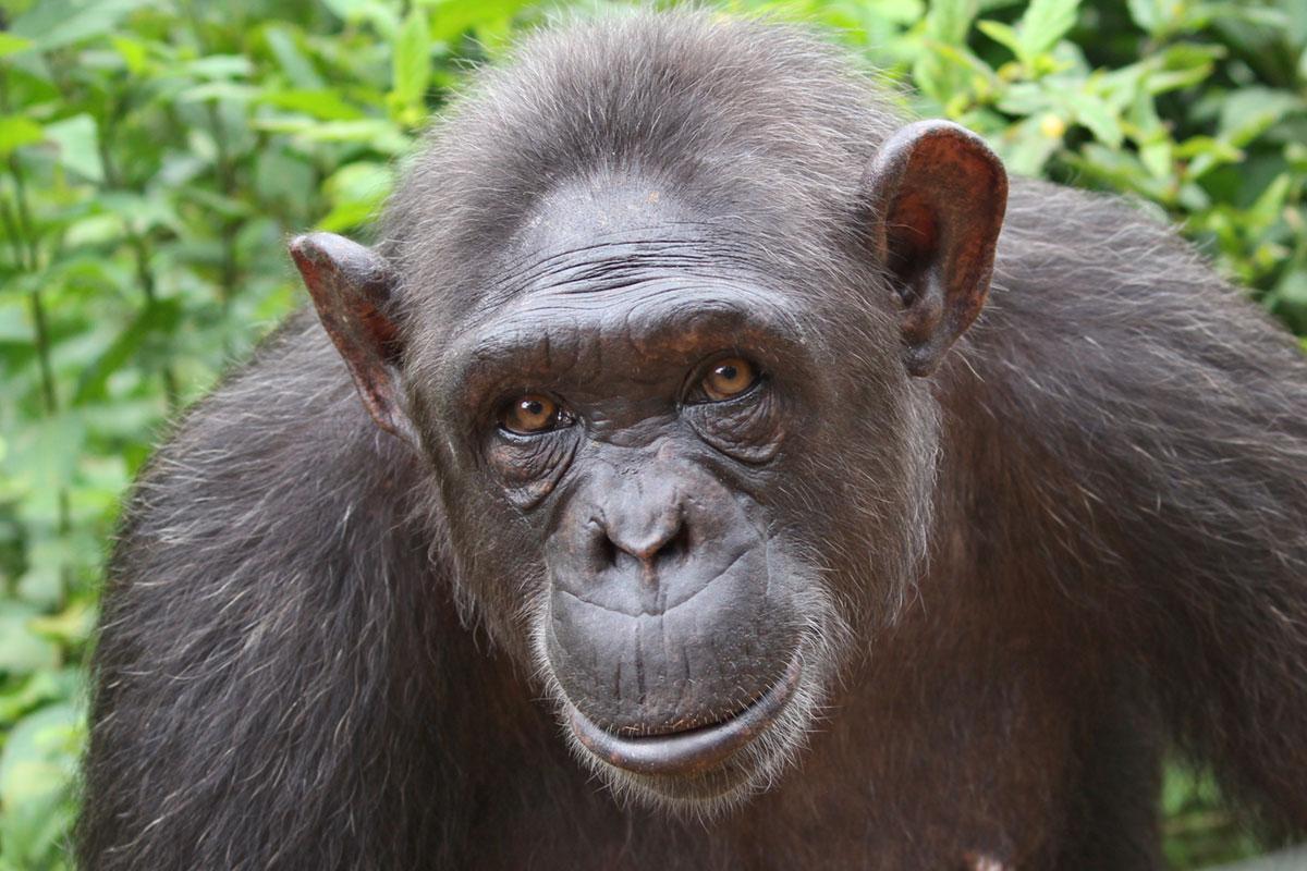 Niete is a Chimpanzee for Adoption
