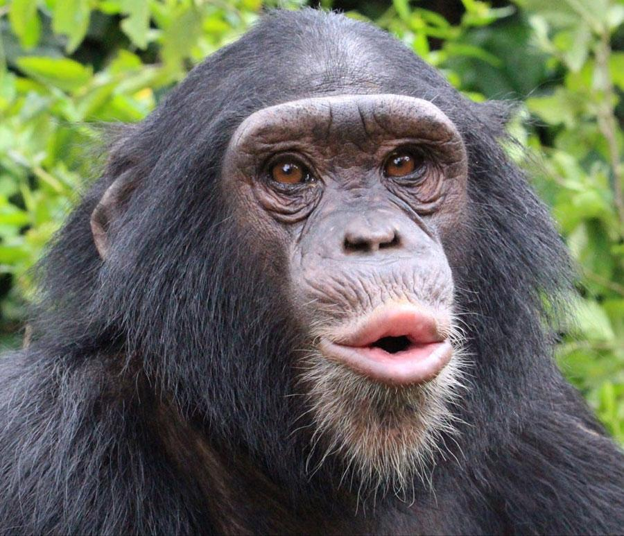 Nyanga is a Resident of Rescued Chimps Family