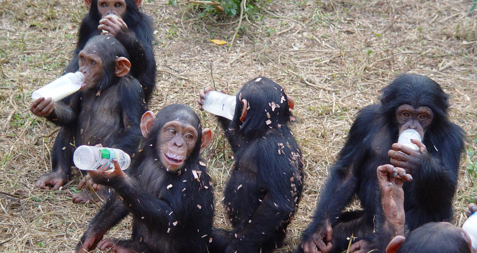 Drinking Chimps