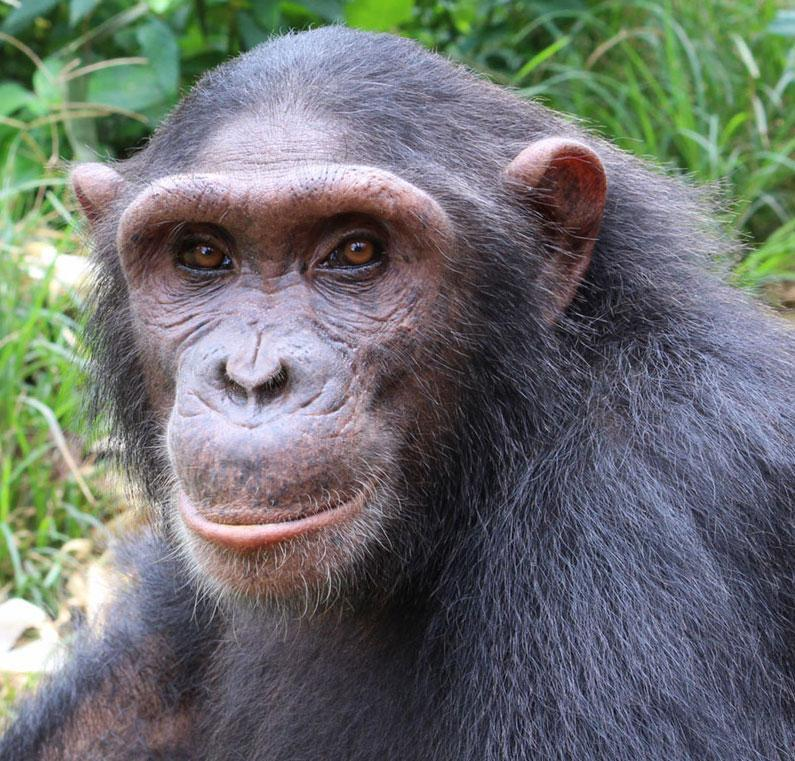 Selma is a Baby Chimpanzee for Adoption