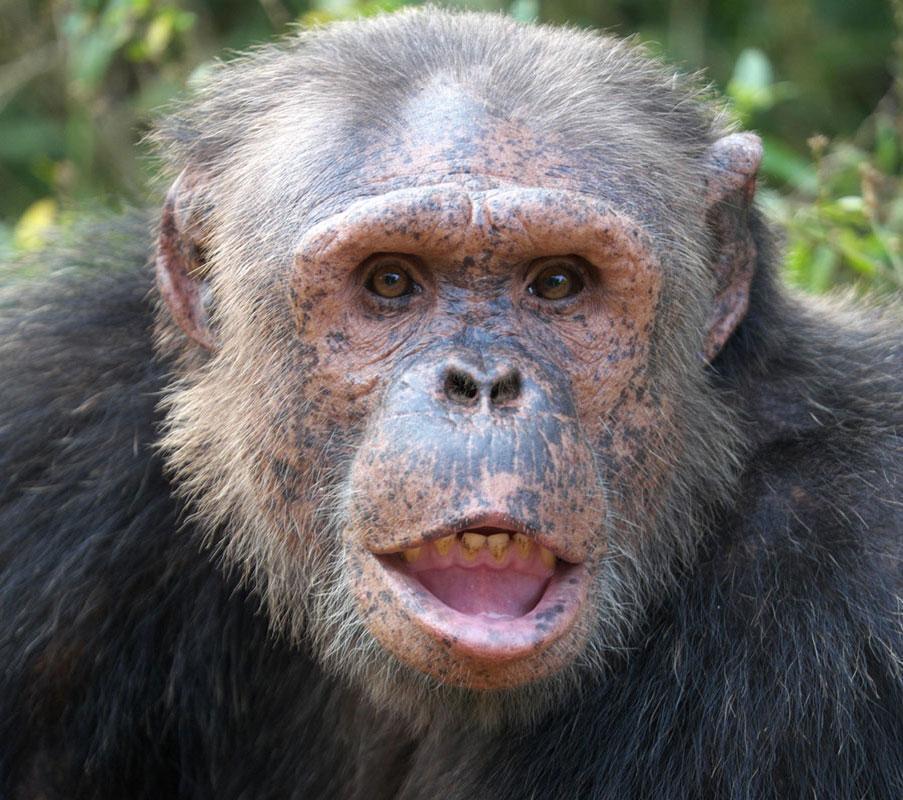 Simon a Chimp