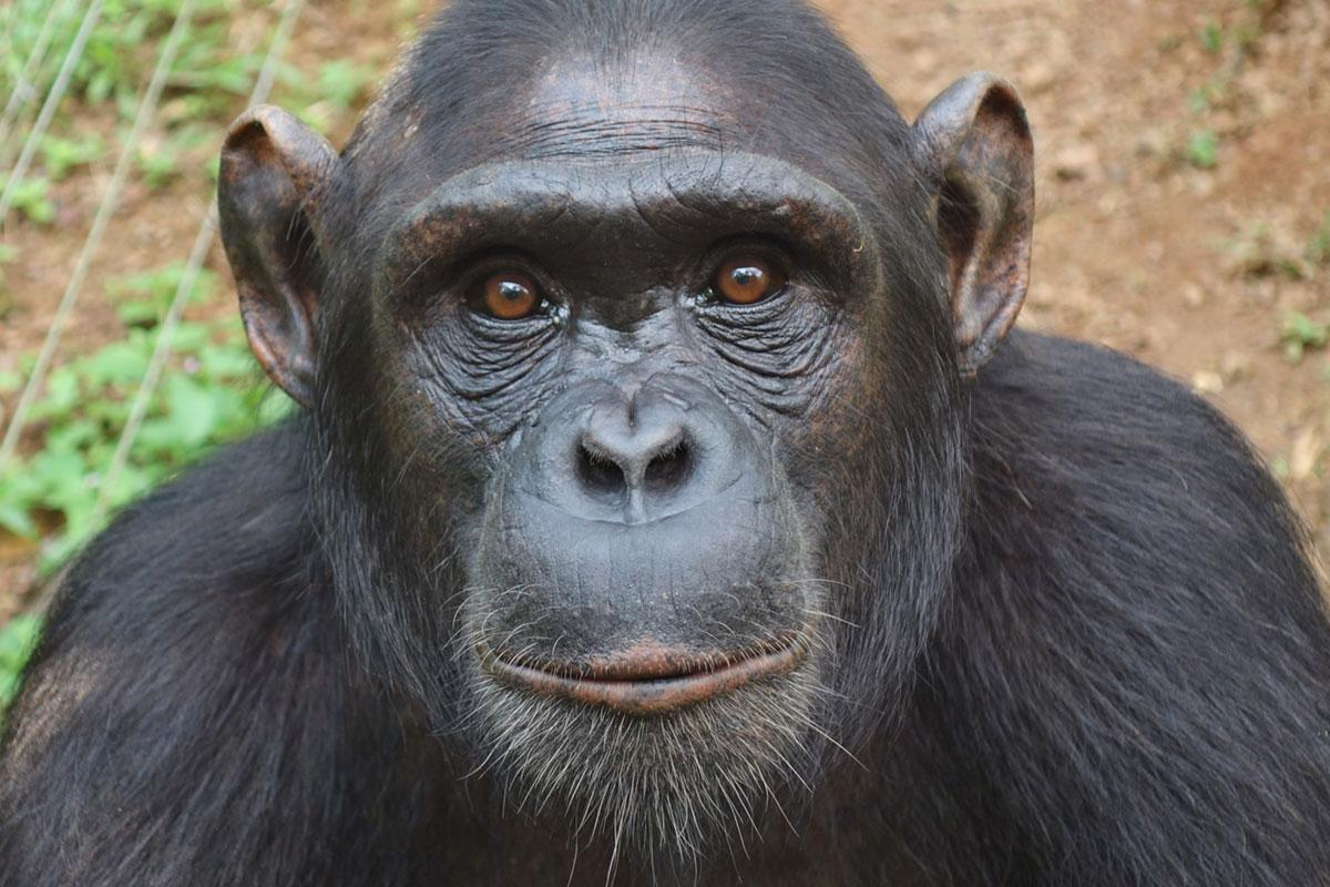 Xeko is a Chimpanzee for Adoption