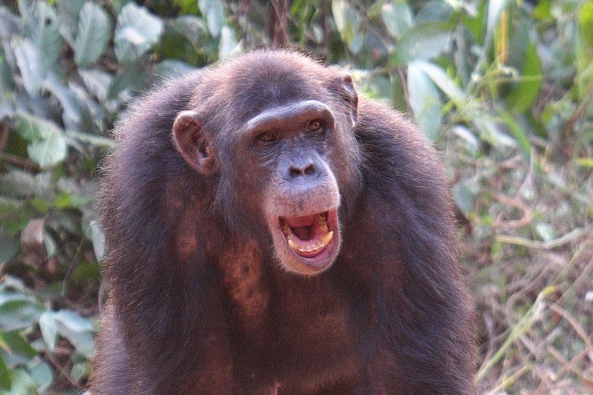 Zack is a Rescued Chimp